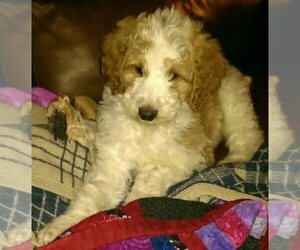 Main photo of Bordoodle Dog Breeder near LIVERMORE, CO, USA