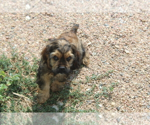 Cocker Spaniel Dog Breeder in BIG BEND,  USA