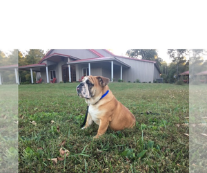 Bulldog Breeder in ALMO, KY