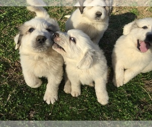 Main photo of Great Pyrenees Dog Breeder near LYNCHBURG, TN, USA