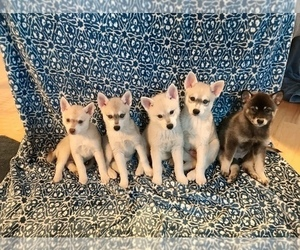 Alaskan Klee Kai Dog Breeder in SHADLE GARLAND,  USA