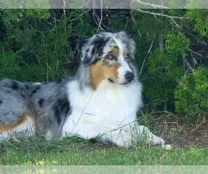 Main photo of Australian Shepherd Dog Breeder near AUSTIN, TX, USA