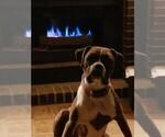 Boxer Breeder in METROPOLIS, IL, USA