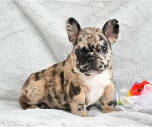 French Bulldog Breeder in DALLAS, TX, USA