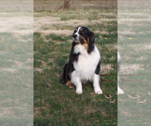 Main photo of Australian Shepherd Dog Breeder near KANSAS CITY, MO, USA