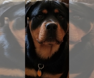 Main photo of Rottweiler Dog Breeder near FAIRBURY, NE, USA