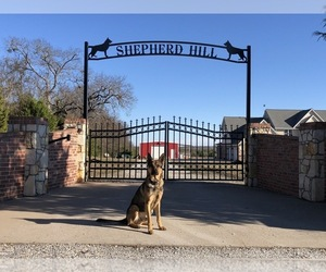 Main photo of German Shepherd Dog Dog Breeder near SHERMAN, TX, USA