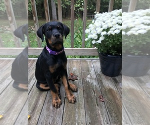 Main photo of Rottweiler Dog Breeder near ACME, NC, USA