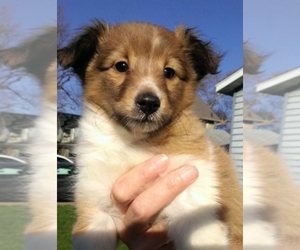 Main photo of Shetland Sheepdog Dog Breeder near Cuyahoga Falls , OH, USA