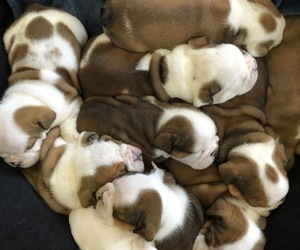 Bulldog Dog Breeder near BOONEVILLE, MS, USA