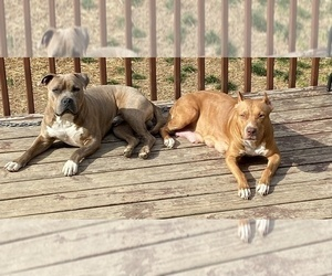 American Pit Bull Terrier Dog Breeder near KARNS, TN, USA