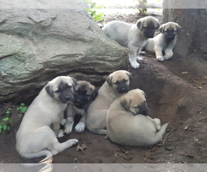 Kangal Dog Dog Breeder in East Garafraxa,  Canada
