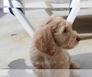 Main photo of Goldendoodle Dog Breeder near GLENDALE, AZ, USA