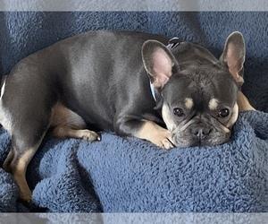 French Bulldog Dog Breeder in MAYVILLE,  USA