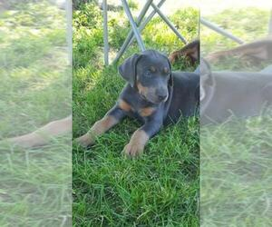 Main photo of Doberman Pinscher Dog Breeder near AFTON, IA, USA