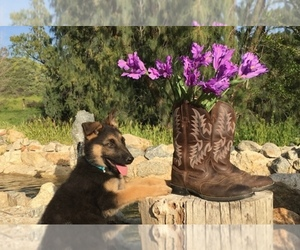 Main photo of German Shepherd Dog Dog Breeder near HEMET, CA, USA