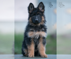 German Shepherd Dog Dog Breeder in PALERMO,  USA