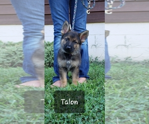 German Shepherd Dog Dog Breeder in LORE CITY,  USA