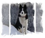 Karelian Bear Dog Breeder in COLVILLE, WA, USA