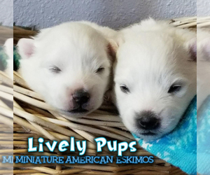 Miniature American Eskimo Dog Breeder near CO SPGS, CO, USA