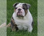 English Bulldog Breeder in CLAIR MEL, FL, USA