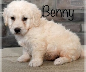 Main photo of Goldendoodle Dog Breeder near DETROIT, MI, USA