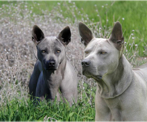 Main photo of Thai Ridgeback Dog Breeder near WHITESBORO, TX, USA