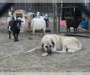 Anatolian Shepherd Breeder in LEXINGTON, SC