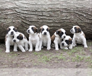 Main photo of Saint Bernard Dog Breeder near ANN ARBOR, MI, USA