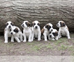 Saint Bernard Breeder in ANN ARBOR, MI, USA