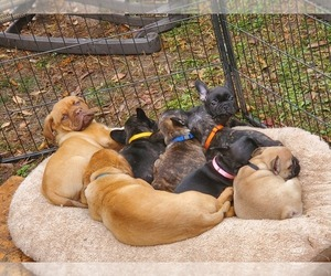 Main photo of French Bulldog Dog Breeder near WINDER, GA, USA