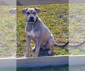 Catahoula Bulldog Dog Breeder in JACKSONVILLE,  USA