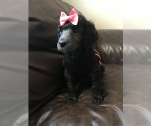 Main photo of Poodle (Standard) Dog Breeder near INDEPENDENCE, KS, USA