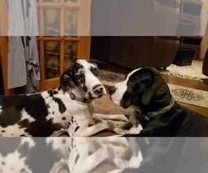 Main photo of Great Dane Dog Breeder near BATEMAN, WI, USA