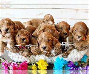 Irish Setter Dog Breeder in SILVERDALE,  USA