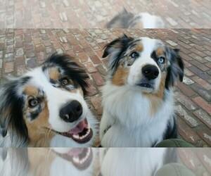Main photo of Australian Shepherd Dog Breeder near HANCEVILLE, AL, USA