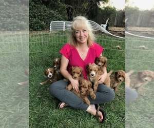 Labradoodle Dog Breeder near DURHAM, CA, USA