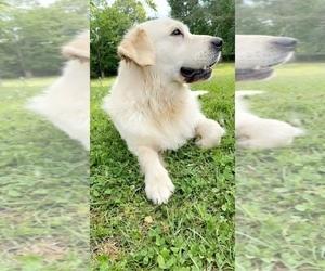English Cream Golden Retriever Dog Breeder in HANCEVILLE,  USA