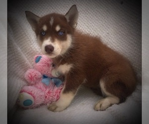 Main photo of Siberian Husky Dog Breeder near SMITHVILLE, MO, USA