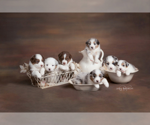 Main photo of Australian Shepherd Dog Breeder near TAYLOR, TX, USA