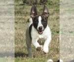 Teddy Roosevelt Terrier Breeder in HOLLY SPRINGS, MS