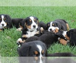 Bernese Mountain Dog Breeder in NEW HAVEN, IN, USA
