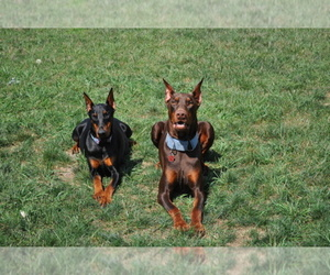 Doberman Pinscher Dog Breeder in LIBERTY TWP,  USA