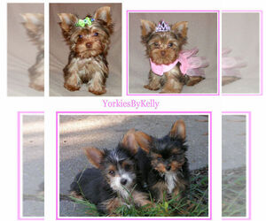 Main photo of Yorkshire Terrier Dog Breeder near DELTONA, FL, USA