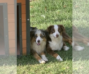 Australian Shepherd Dog Breeder near CRESTON, IA, USA