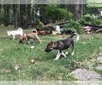 American Foxhound Breeder in GROVESPRING, MO, USA