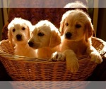 Labradoodle Breeder in OROVILLE, CA, USA