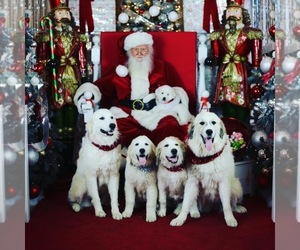 Great Pyrenees Dog Breeder near NORCO, CA, USA
