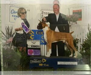 Boxer Dog Breeder near NAPPANEE, IN, USA
