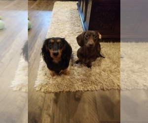 Main photo of Dachshund Dog Breeder near HILLSBORO, OR, USA